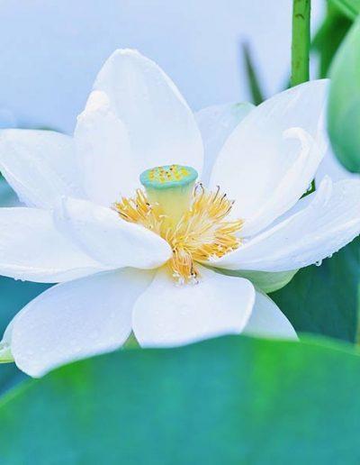 «Tonus le lotus» Je retrouve mon énergie